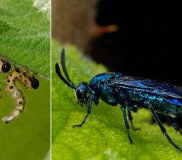 Un remède qui fait mouche pour soigner la biodiversité