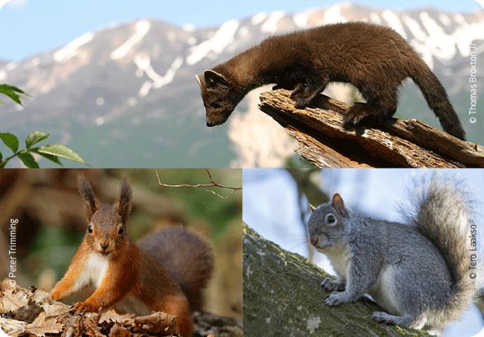 Martre des pins : comment un prédateur peut rééquilibrer une biodiversité perturbée ?