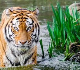 L'extinction paradoxale des espèces les plus charismatiques