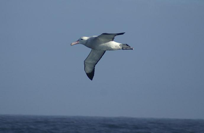 Au gré des vagues : le voyage de l'albatros hurleur à travers le monde