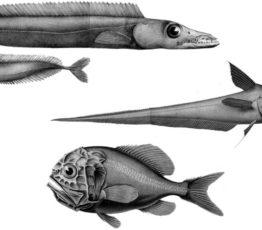 Les poissons d'eaux profondes : à pêcher avec grande modération