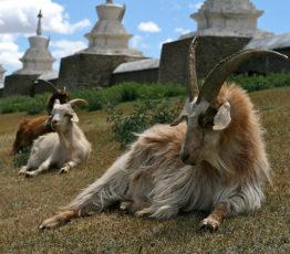 Le cachemire à petits prix : un commerce qui coûte cher aux écosystèmes mongols