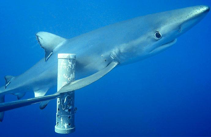 Les monts sous-marins éloignés de l'Homme comme derniers refuges des prédateurs marins