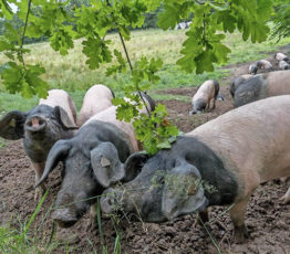 Comment le vieux porc Souabe a rendu leur dignité aux éleveurs allemands de Hohenlohe
