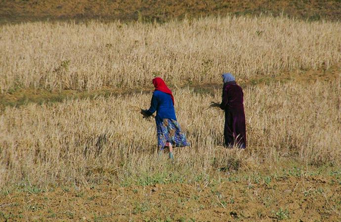 #ScienceDurable – Du blé africain contre le changement climatique