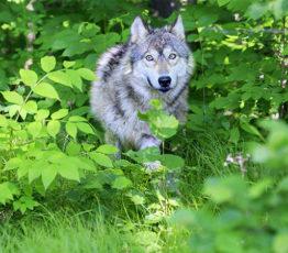 #ScienceDurable – Des loups, des cerfs… et nous