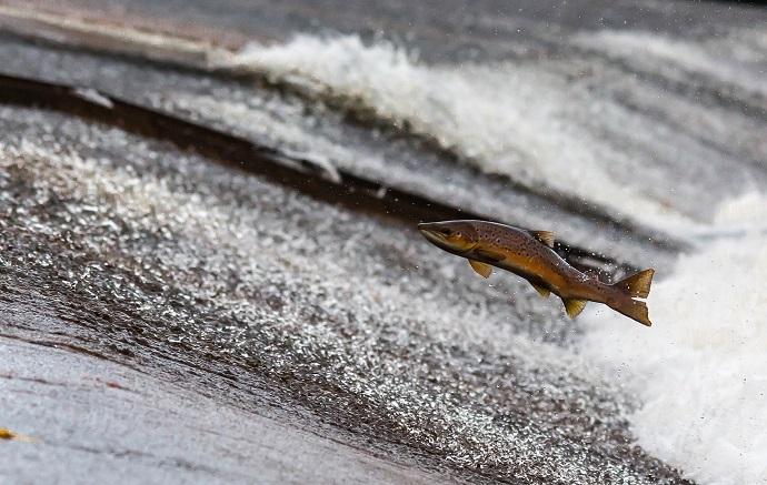 #ScienceDurable – La disparition des poissons migrateurs n'est pas inéluctable