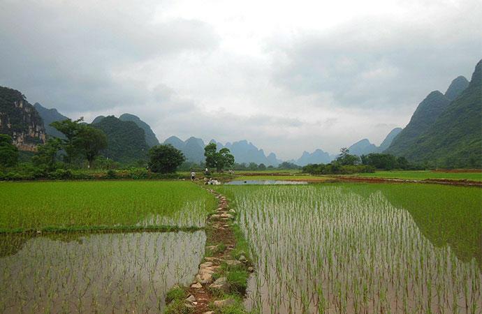 #ScienceDurable – Le mystère du riz éternel révélé