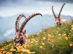 Bouquetins, brucellose et action publique : les apports de la science pour repenser les frontières entre biodiversité sauvage et activités humaines