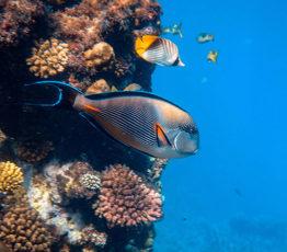 Les poissons récifaux assurent des rôles écologiques universels à travers les océans