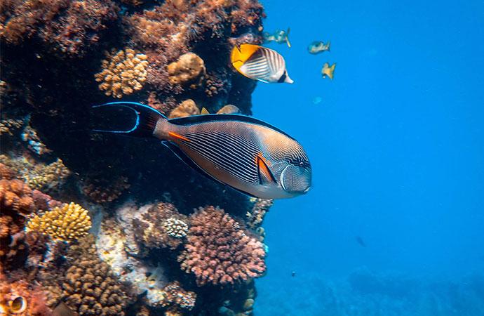 [Communiqué] Les poissons récifaux assurent des rôles écologiques universels à travers les océans