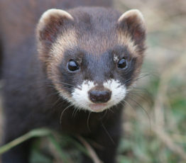 The polecat, this big outsider