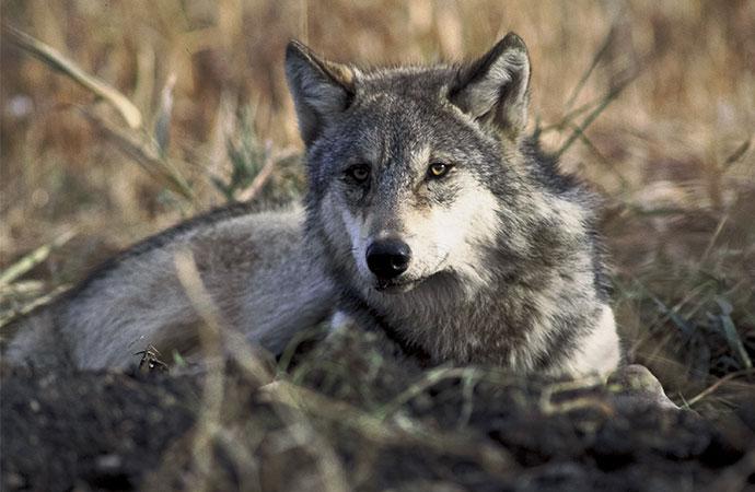 Les loups rendent les routes plus sûres, ce qui génère d'importants bénéfices économiques pour la conservation des prédateurs